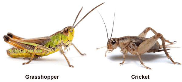 howto get rid of.grasshoppers in garden without use.pestivide