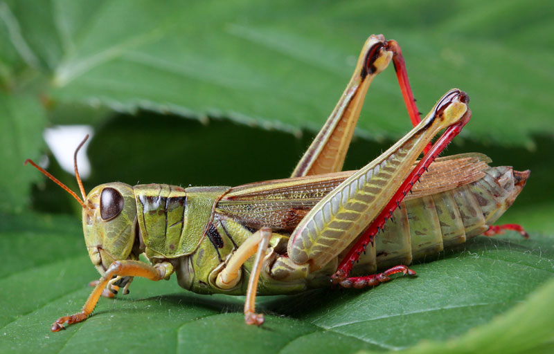 what does grasshopper look like