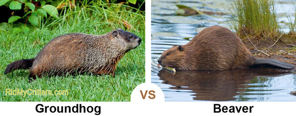 How to Get Rid of Groundhogs FAST so they Don't Destroy ...