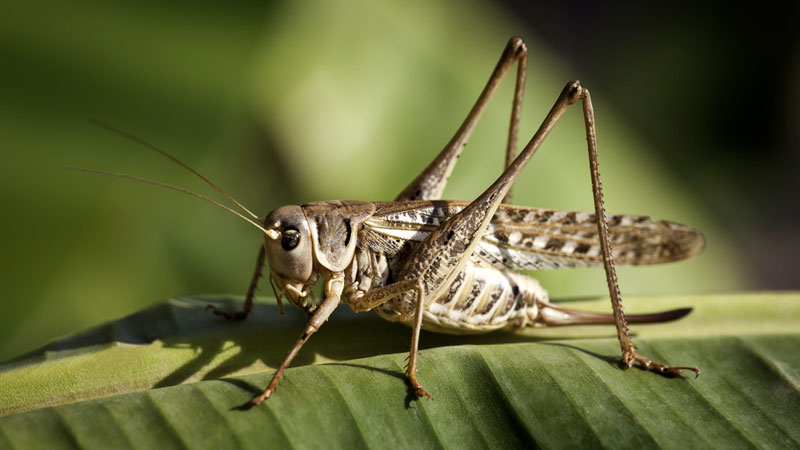 11 Ways to Get Rid of Grasshoppers (Quick, Effective, and