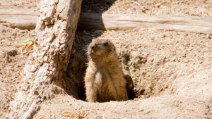 How to Get Rid of Groundhogs (Woodchucks)