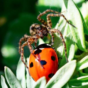 What Do Wolf Spiders Eat >> 6 Ways To Get Rid Of Wolf Spiders And Prevent Future Invasions