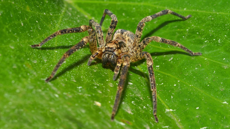 40 Ways To Get Rid Of Wolf Spiders And Prevent Future Invasions Cool How To Get Rid Of Spiders In Bedroom
