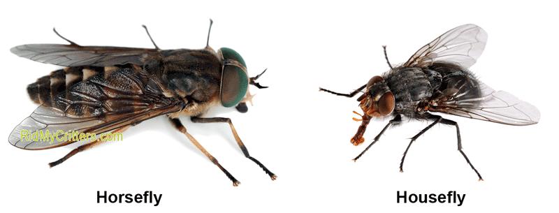 horsefly vs housefly