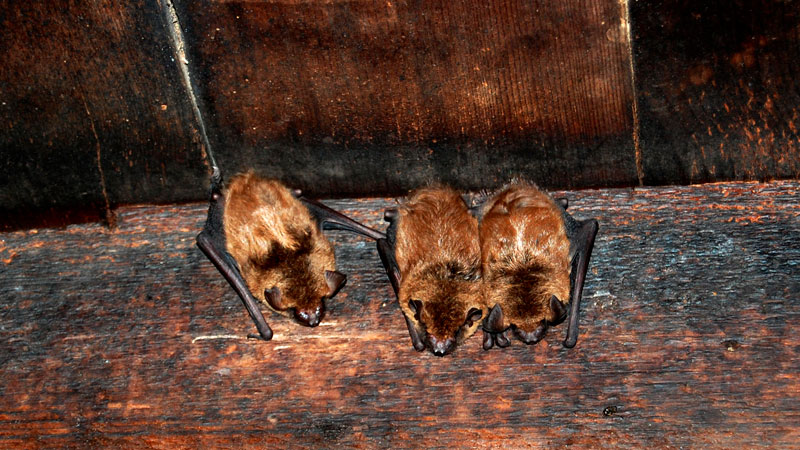 How To Get Rid Of Bats From The Attic