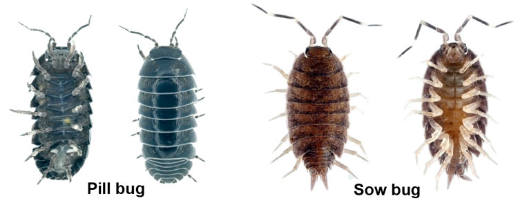 pill bug versus sow bug