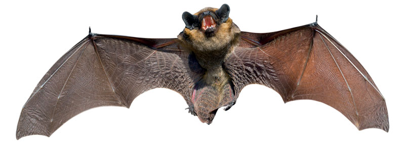 How to Get Rid of Bats (from the Attic, Chimney, Basement