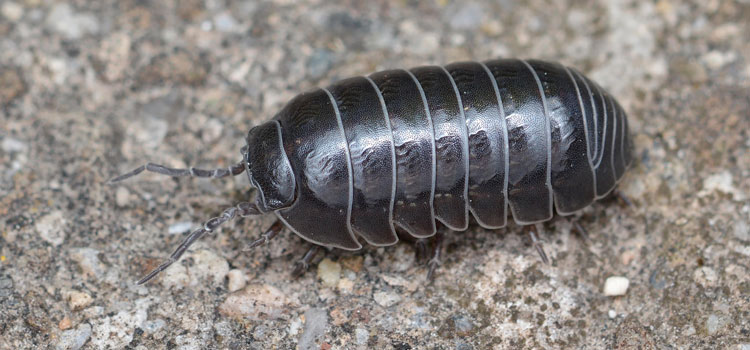what does a pill bug look like