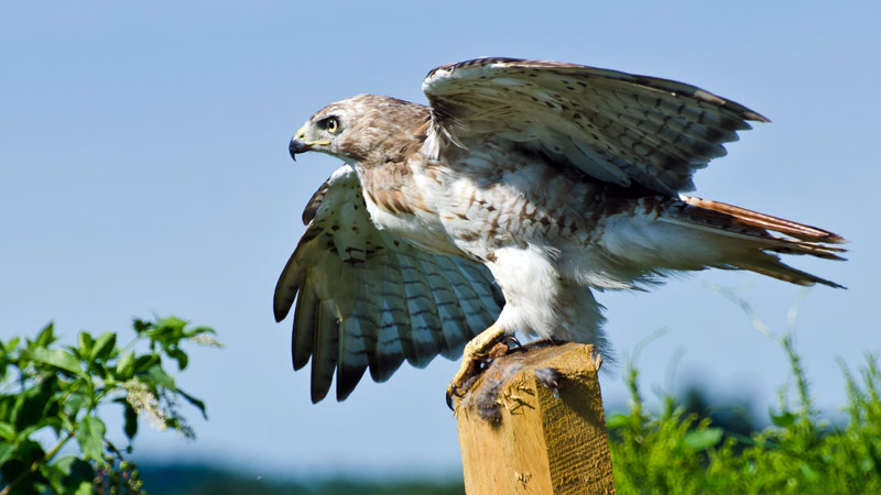 How to Get Rid of Hawks and Keep Them Away (from Chickens