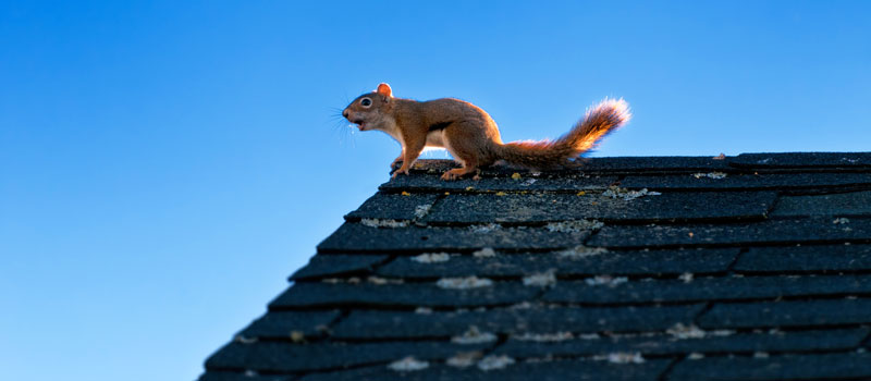 get rid of squirrel in attic
