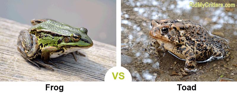 Frog vs Toad comparison