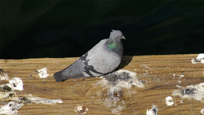 How to EASILY Get Rid of Pigeons (from the Roof, Balcony, or