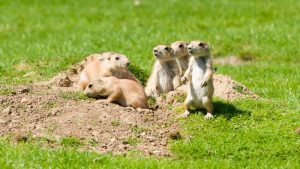how to get rid of prarie dogs