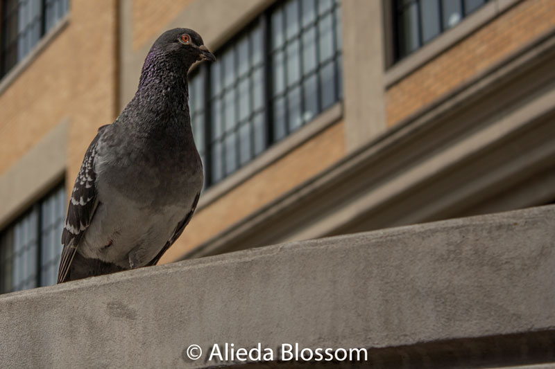 pigeon on a roof