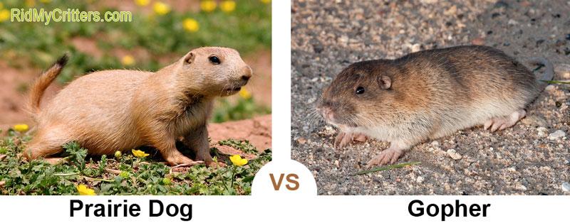 prairie dog vs gopher