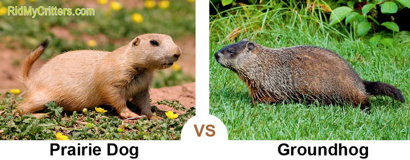 prairie dog vs groundhog