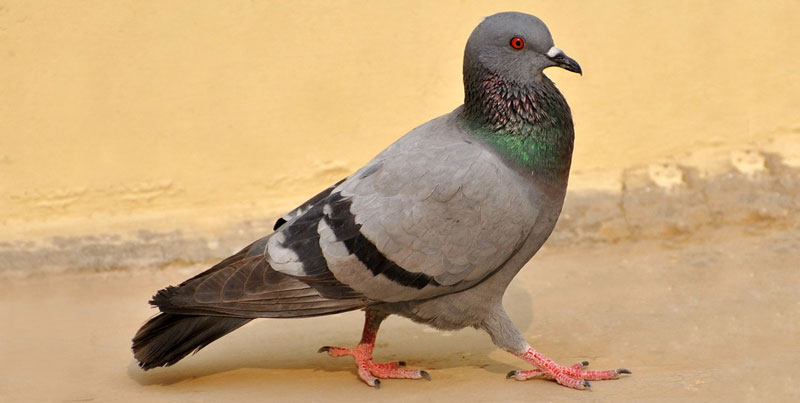 what does a pigeon look like