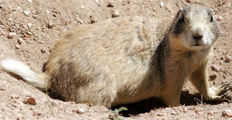 white-tailed prairie dog