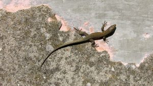 How to Get Rid of Lizards