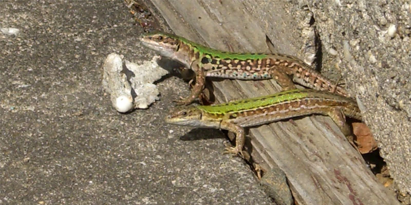 get lizards out of the yard