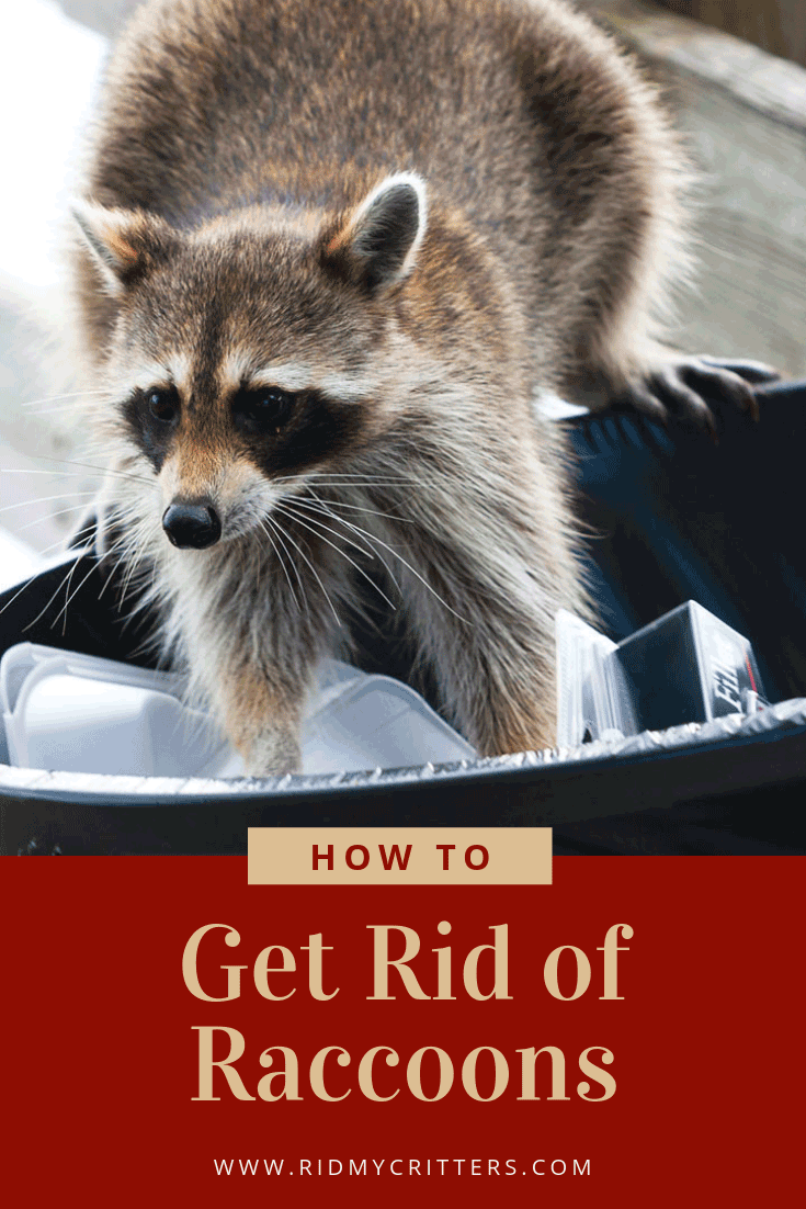 how to get rid of raccoons pin