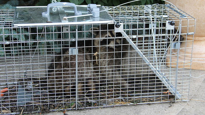 How to Get Rid of Raccoons (from the Yard, Attic, or Under ...