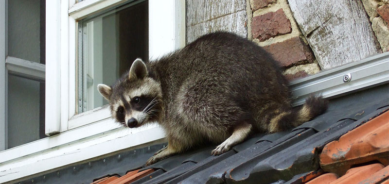 keep raccoons away