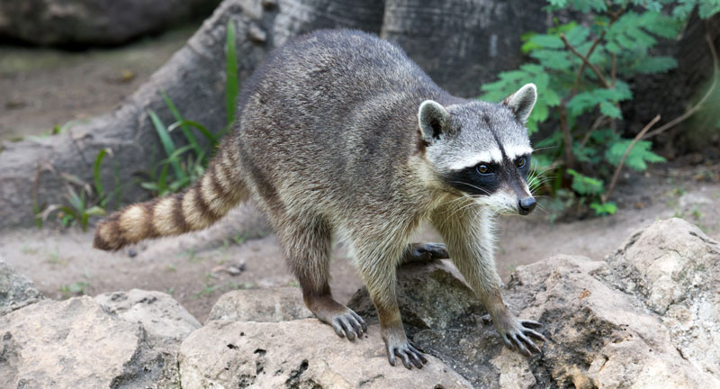 what does a raccoon look like?