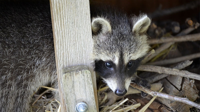 raccoon under house