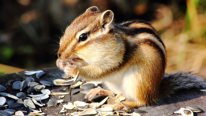 what do chipmunks eat