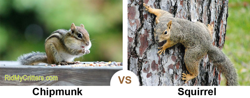 chipmunk vs squirrel