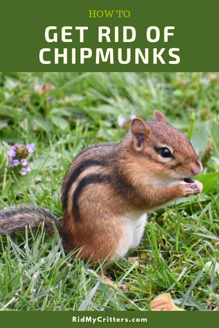 getting rid of chipmunks pin