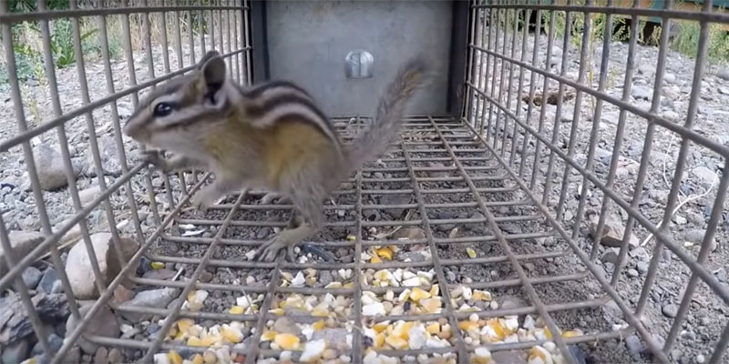 how to trap a chipmunk