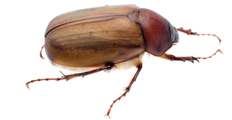 what a june bug looks like
