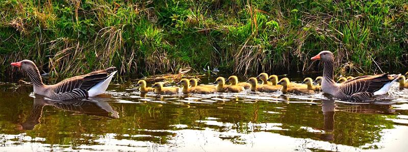 goose habitat