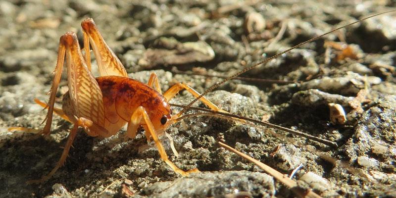 camel cricket size