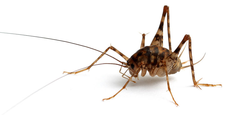 what does a cave cricket look like