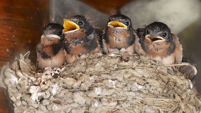 are barn swallows protected