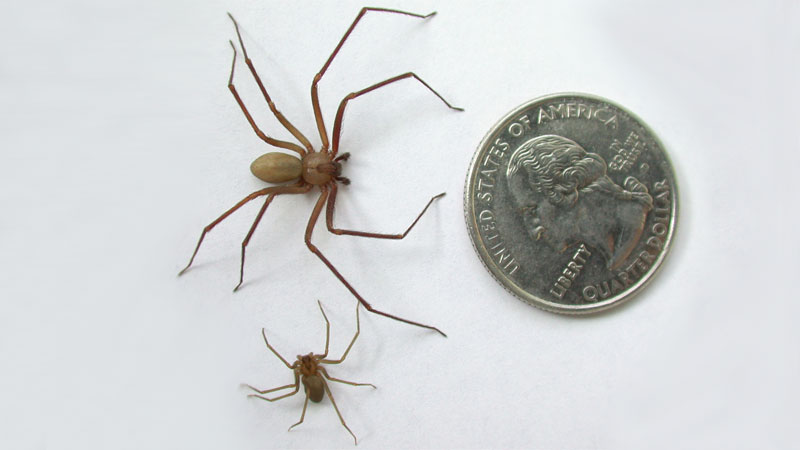 brown recluse baby size