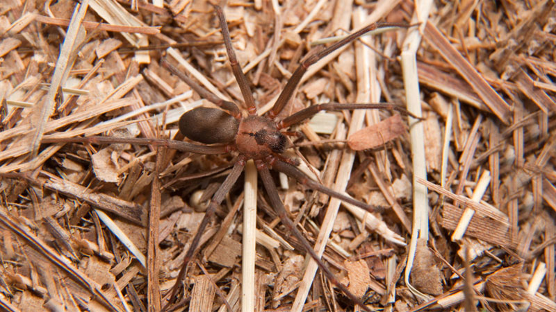 what a brown recluse looks like