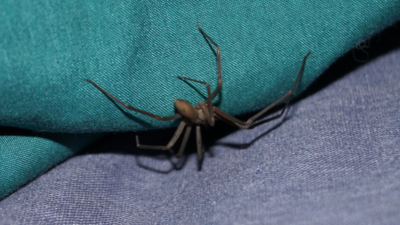 where are brown recluse spiders found
