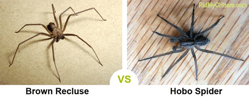 brown recluse vs hobo spider