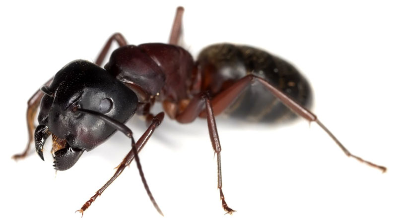 what do carpenter ants look like