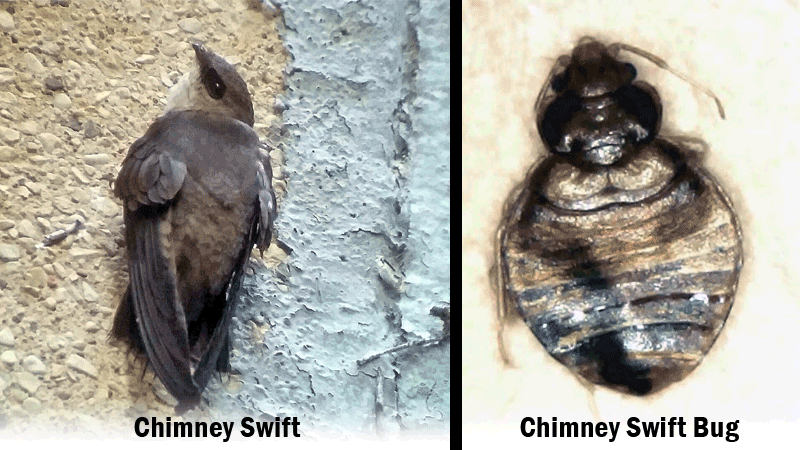 chimney swift bug