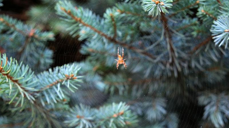 Christmas tree spider