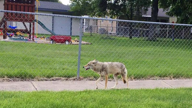 coyote in neighborhood