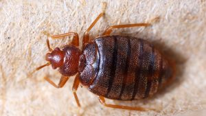 Does Rubbing Alcohol Kill Bed Bugs? (Here's the Truth)