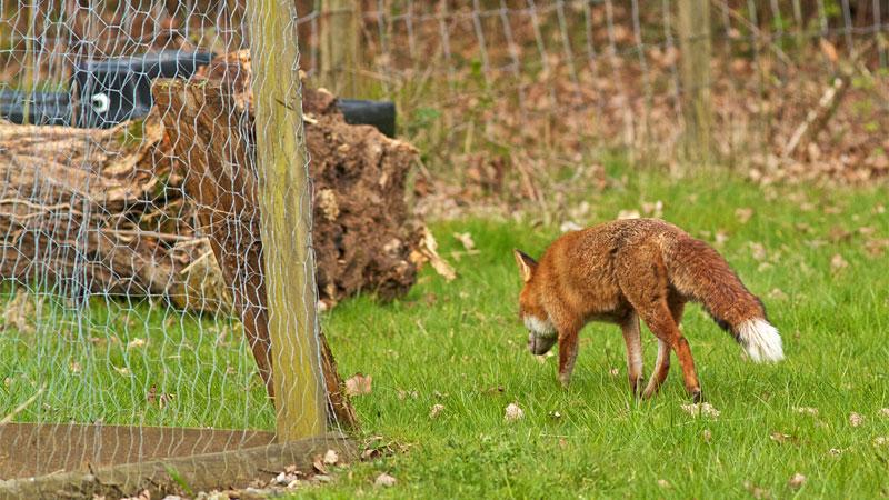 fox deterrent