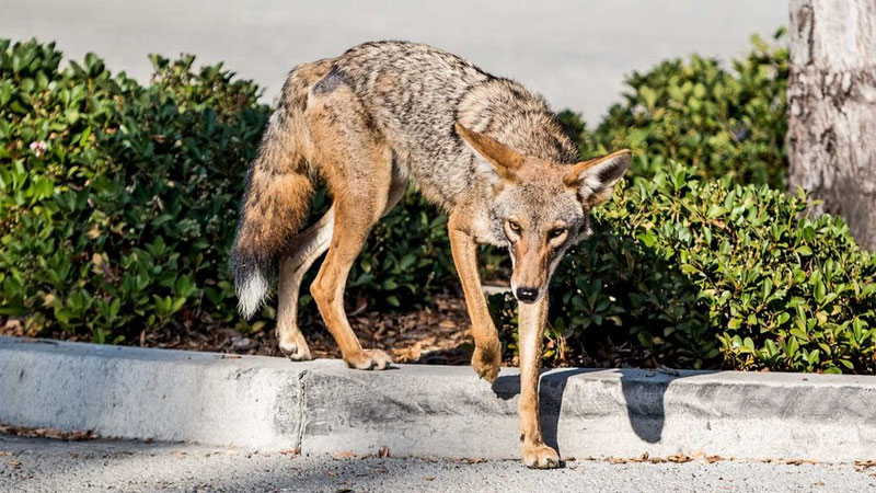 getting rid of coyote