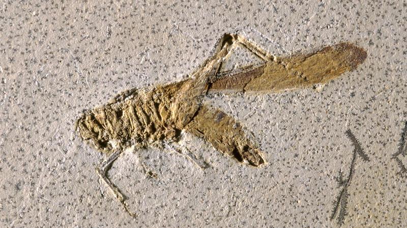 grasshopper fossil